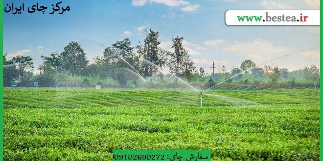 قیمت چای رفاه لاهیجان درجه یک از درب کارخانه
