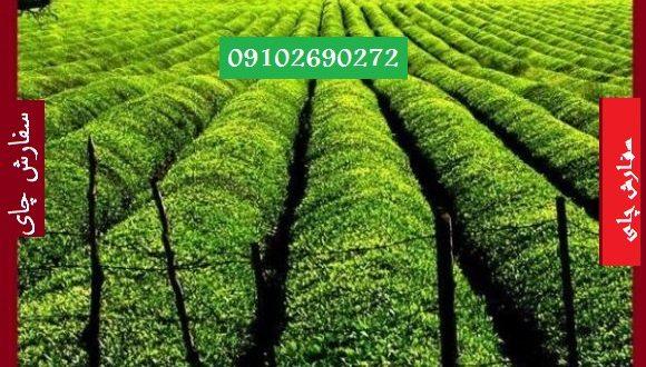 خرید چای سبز بصورت عمده از درب کارخانه