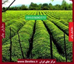 Photo of قیمت چای خشک در بازار
