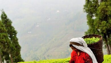 Photo of قیمت عمده فروشی چای درجه یک