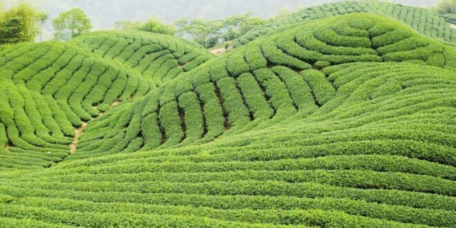 خرید چای ایرانی ارزان قیمت