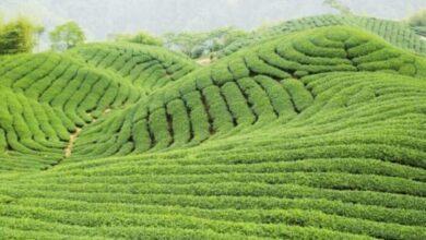 Photo of خرید عمده چای ارزان قیمت / قیمت چای در سال 99
